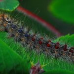 Gypsy Moth: Most Wanted Pests Threatening Your Lawn [Part 2]