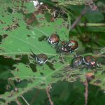 Japanese Beetle: Most Wanted Pests Threatening Your Lawn [Part 3]