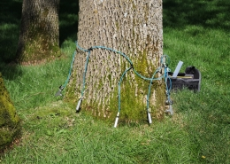 An ash tree in Sartell, Minnesota receiving the micro-infusion method Emerald Ash Borer management option treatment.