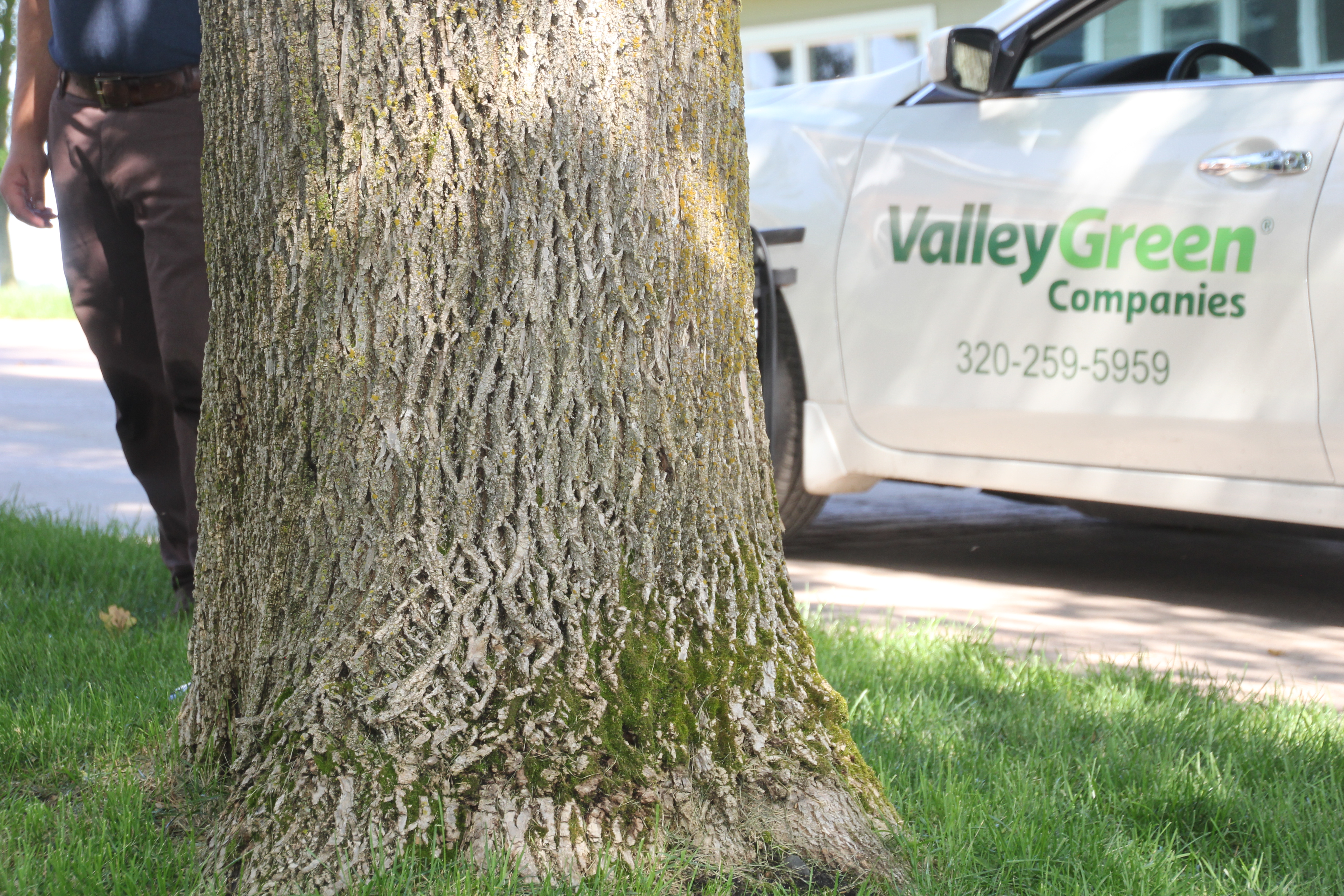 Ash tree at a Sartell, Minnesota home with a Valley Green Companies car behind it.